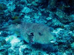 indo-raja-dive-fish-6