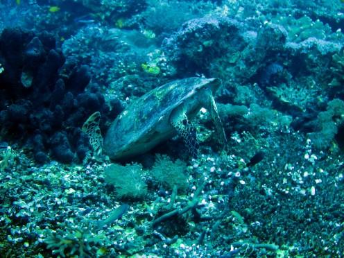 indo-raja-dive-tortue-autruche-2