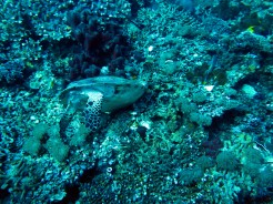indo-raja.dive-tortue-autruche-2