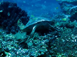 indo-raja.dive-tortue-autruche