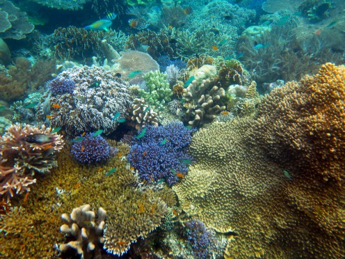 indo-raja-snorkling-coraux-2