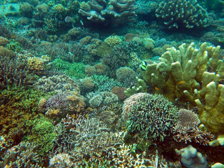 indo-raja-snorkling-coraux-durs