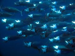 indo-raja-snorkling-fish-4