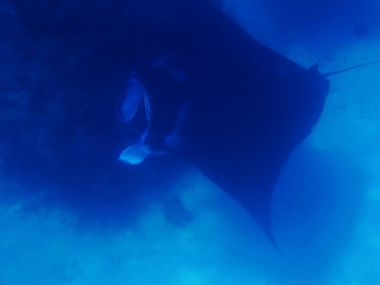 indo-raja-snorkling-manta-point-1