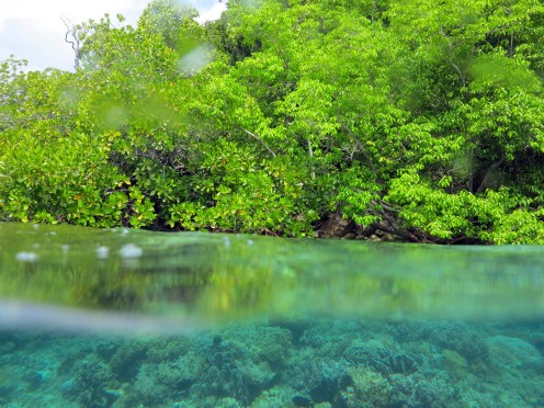 Mangrove - Paletuvier