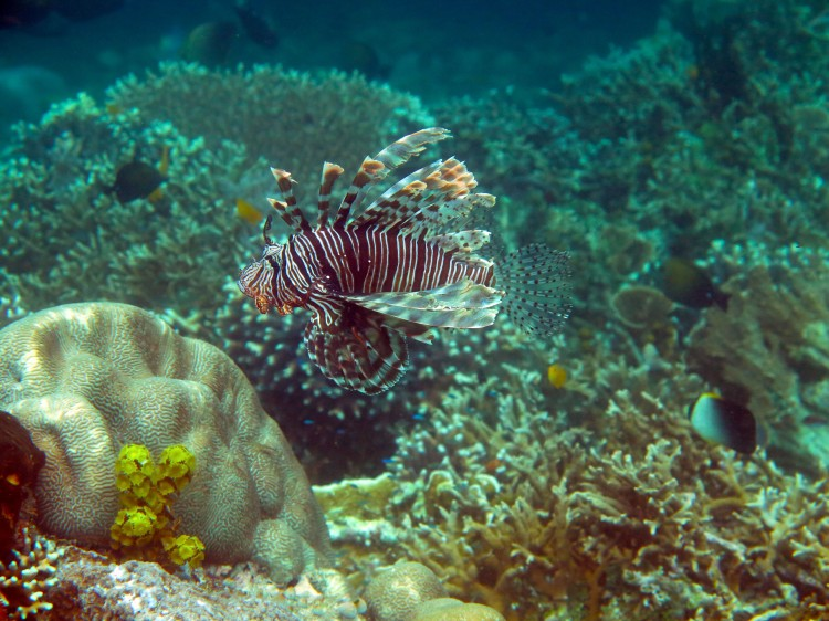 indo-raja-snorkling-rascasse