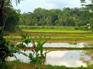 indo-sulawesi-riziere-6