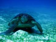 indo-flores-dive-grosse-tortue-1