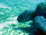 indo-flores-dive-grosse-tortue-2