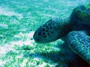indo-flores-dive-grosse-tortue-2