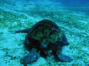 indo-flores-dive-grosse-tortue-3