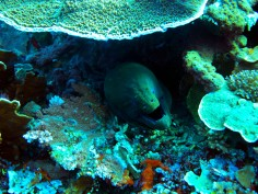 indo-flores-dive-murene-4