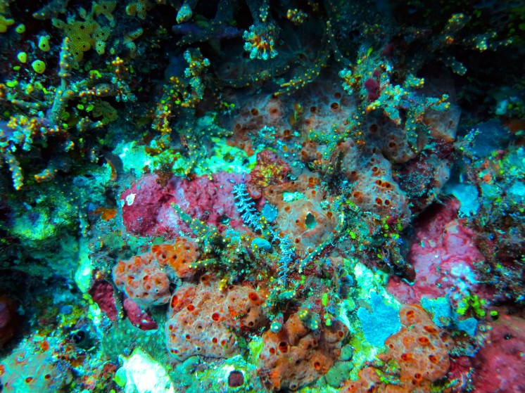 indo-flores-dive-nudibranches-1