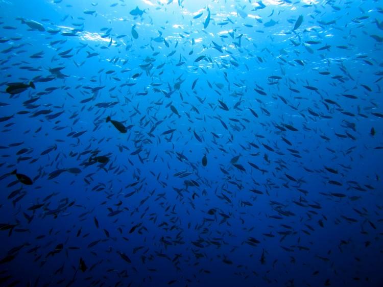 indo-flores-dive-poissons-coraliens-7