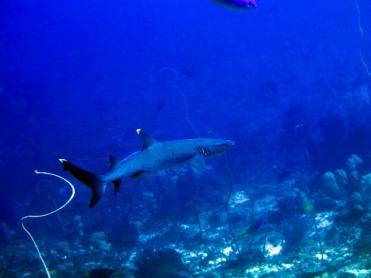 indo-flores-dive-requins-pointes-blanche-2