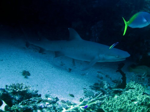 indo-flores-dive-requins-pointes-blanche-4
