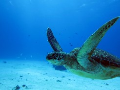 indo-flores-dive-tortue-2