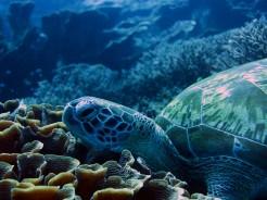 indo-flores-dive-tortue-4