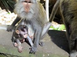 indo-bali-ubud-monkey-temple-1